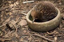 Echidna,  Sometimes Known As Spiny Anteaters Is Keeping Cool In A Bowl Of Water From The Australian Heat