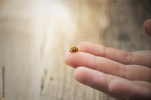 Ladybug on a baby finger close-up. Sun rays. Wallpaper Mural