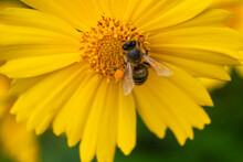 The Bee Collects Nectar On An Big Yellow Flower. The Insect Has Pollen On Its Legs. Blurred Background.