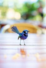 Blue Splendid Fairy Wren On A Table