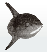 Threatened Ocean Sunfish Or Common Mola, Native To Tropical Waters Around The World In Side View After An Antique Illustration From The 19th Century