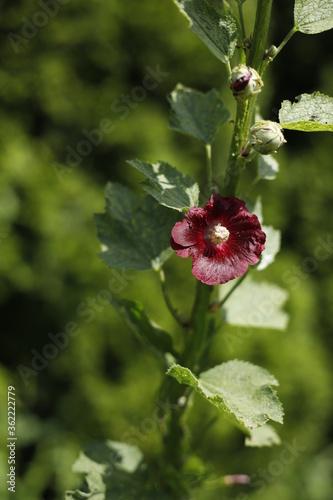 Obraz Malwa bordowa kwiat lato zieleń - fototapety do salonu