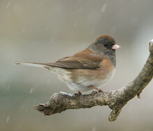 A Junco Perched On A Branch On...