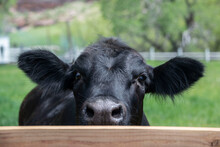 Black Angus Cow Peeking Over Fence In Colorado, USA