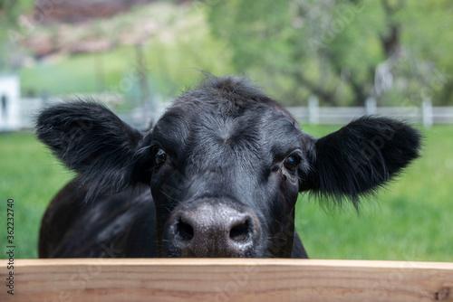 Black angus cow peeking over fence in Colorado, USA Canvas Print