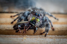 Macro Of A Bold Jumping Spider...