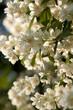lush flowering jasmine bush in a sunny summer park