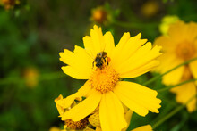 The Bee On A Yellow Flower. The Insect Has Big Amount Of Pollen On Its Legs.background With Another Flowers Head.