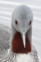 A Red-throated Loon Closeup Fr...