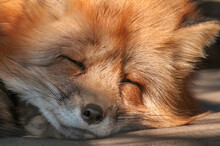 Red Fox On Alert