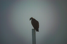 Perched Osprey