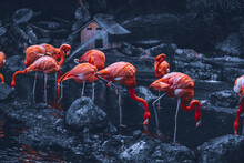 A Group Of The Flamingo Is Chi...