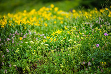 Albion Basin In Alta, Utah Summer Festival With Many Yellow Wildflowers Flowers In Wasatch Mountains In Meadow Field Shallow Depth Of Field Blurry Background