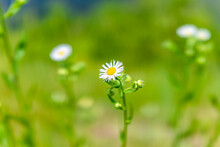 Macro Of White Daisy Fleabane ...