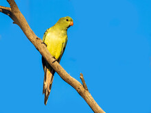 Regent Parrot (Polytelis Anthopeplus). It Is A Slim Parrot With A Long, Dusky Tapering Tail And Back-swept Wings. It Is Mostly Yellow, With Blue-black Wings And Tail.