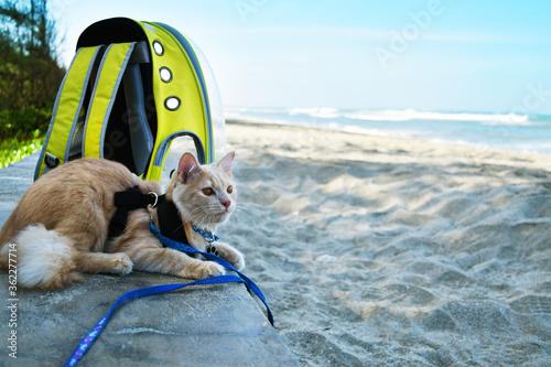 Angora Cat sitting on the beach, pet traveling concept. Canvas Print