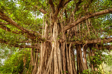 Banyan Or Banian Is A Fig That...