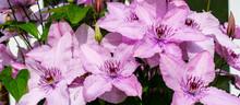 Garden Liana In The Garden - P...