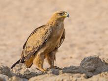 Tawny Eagle In The Kalahari