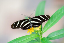 Zebra Longwing Butterfly (heliconius Charithonia) On A Beautiful Yellow Flower In A Summer Garden. In The Amazone Rainforest In South America. Presious Tropical Butterfly.