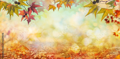 Obraz orange fall  leaves, autumn natural background with maple trees - fototapety do salonu