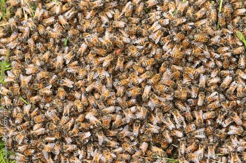 animal, apis, apis mellifera, background, beautiful, beauty, bee, beehive, bug, Canvas Print