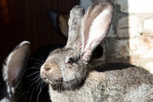 Portrait Of A Gray Rabbit With...