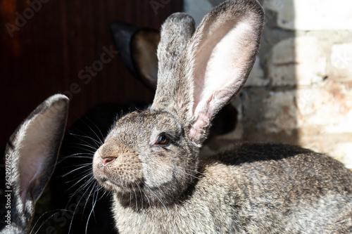 Fotografija Portrait of a gray rabbit with big ears.