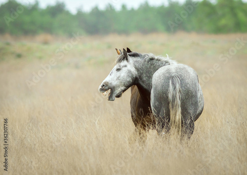 Canvastavla Cute wild horse neighing in steppe.