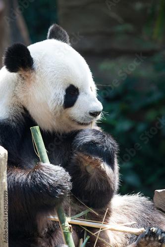 Fototapeta Panda bear eating bamboo obraz