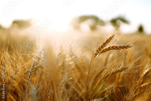 Golden wheat field in sunny day. Agriculture and harvesting concept.