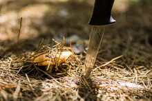 A Small Brown Mushroom Sprouted In The Pine Forest Through A Dense Layer Of Fallen Spruce Needles. Mushroom Pruning Sharp And Thin Knife Stuck Next To The Ground.