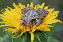 Frog On Yellow Sunflower Flowe...
