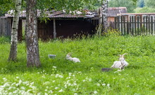 Two Goats Lying On Green Grass...