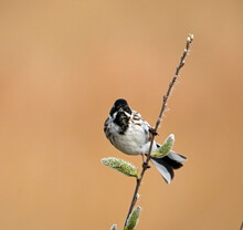Reed Bunting Feeding On The Se...