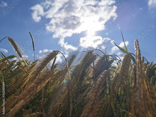 Fotografie, Obraz Weizen im Sonnenlicht