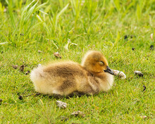 Canadian Geese Stock Photos.  Baby Geese Gosling. Baby Goose Sleeping And Resting On Grass.