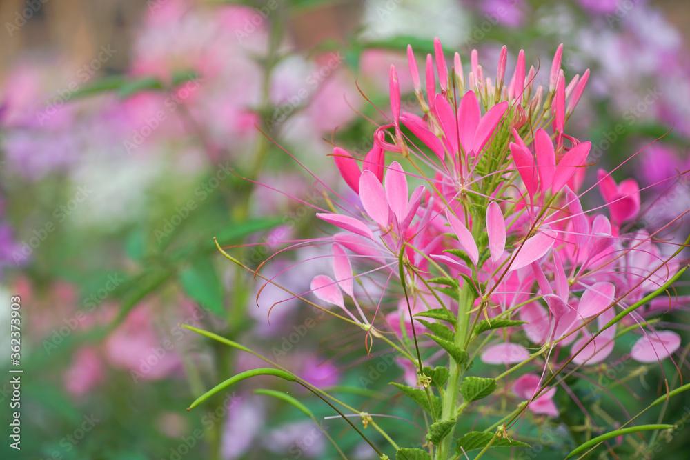Spider flowers02