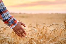 Farmer Touching Ripe Wheat Ear...