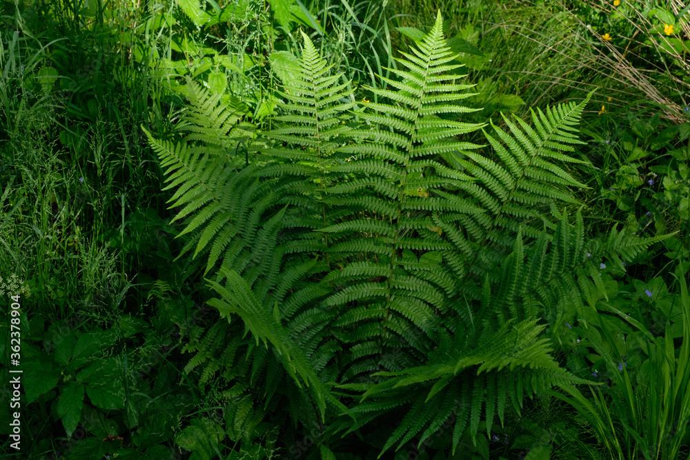 Fototapeta Large fern bunch in springtime forest