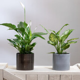 Dieffenbachia Dumb canes with Peace Lily, Spathiphyllum plant