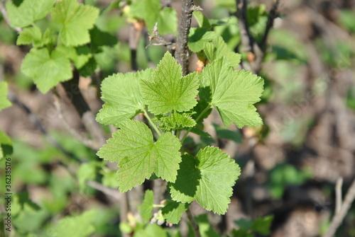 Photo blackberry bush on a green background
