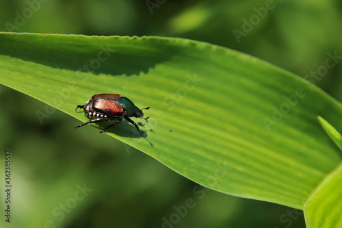 Canvas Print Japanese beetle on a leaf