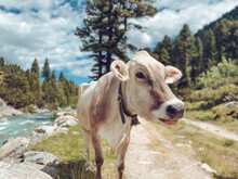Cow In The Mountains Beside A River In A Valley Surounded By Forest
