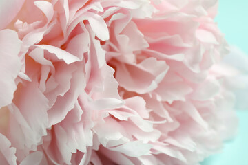 Fototapeta Peonie Beautiful pink peony on light blue background, closeup