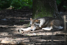 Junger Wolf An Einem Baum Ausruhend