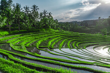 Greenish Rice Fields With Line...