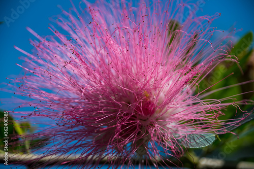 Fototapety, obrazy: Spear Thistle, Strange Pink Flower Growing from Tree