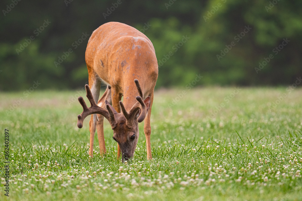 Fototapeta white-tailed deer buck with velvet covered antlers in summer
