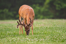 White-tailed Deer Buck With Ve...
